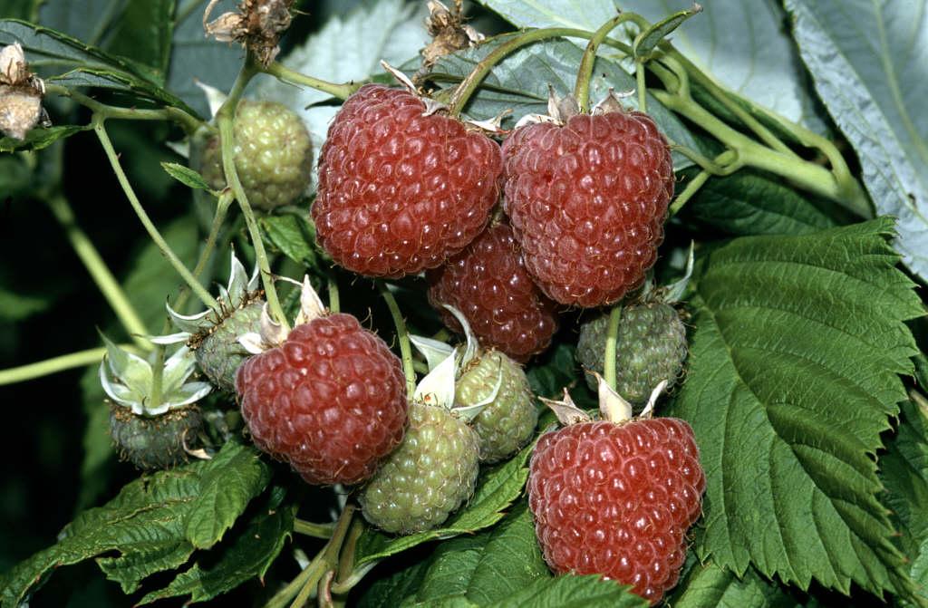 raspberry 'Leo'