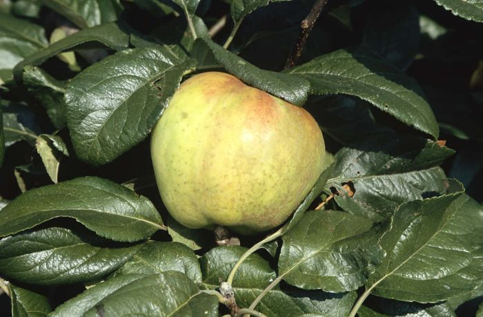 apple 'George Neal'