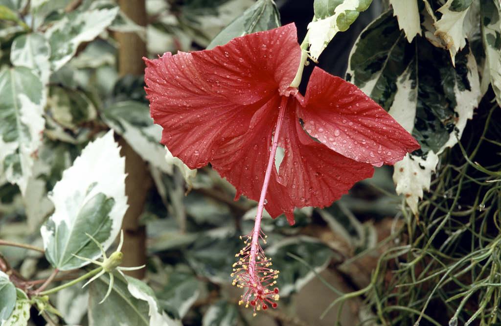 rose mallow 'Cooperi'