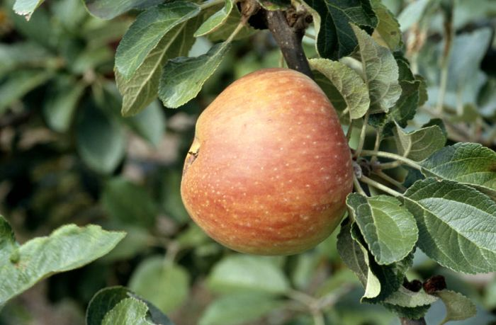 apple 'Alkmene'