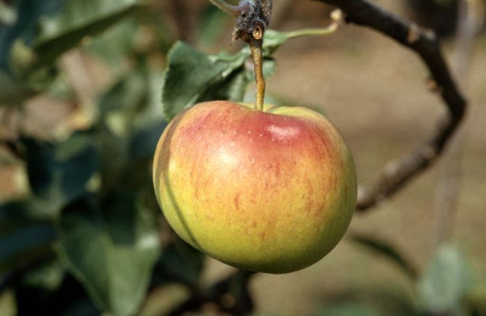 apple 'Laxton's Epicure'