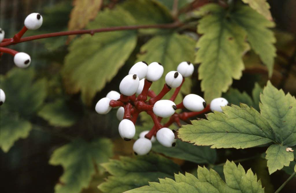 <i>Actaea pachypoda</i>