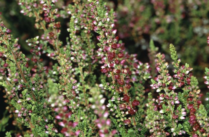 heather 'Dark Beauty'