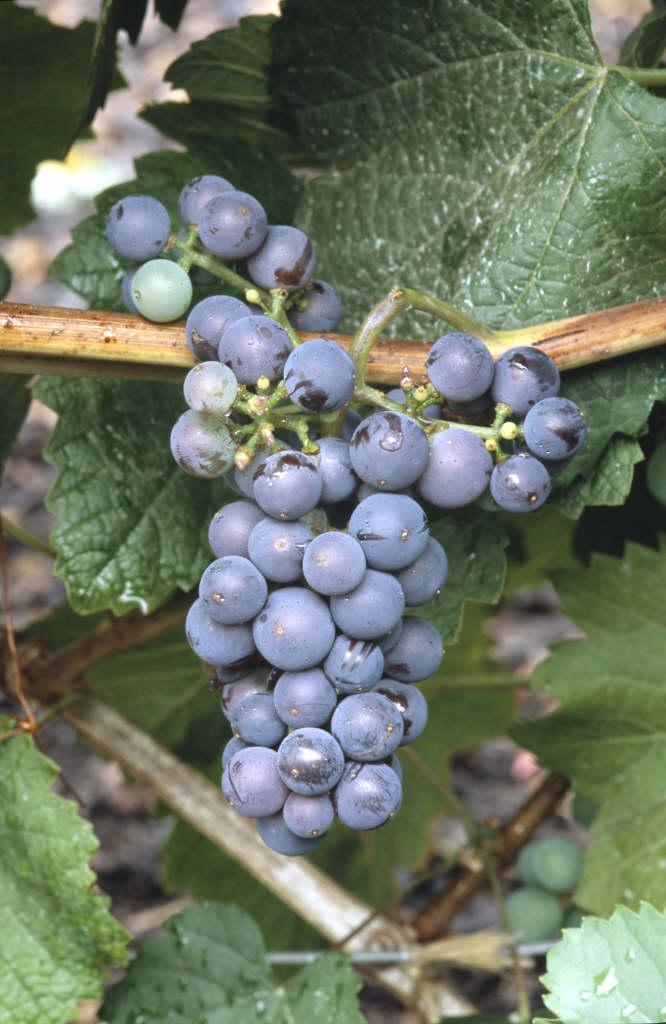 grape 'Brant'