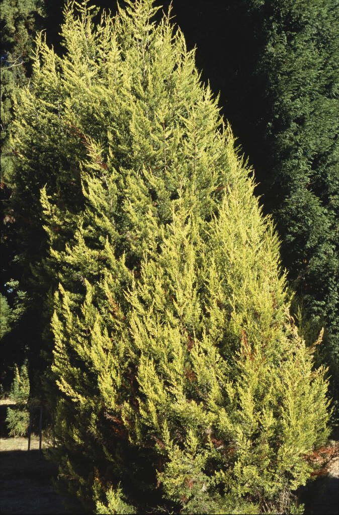 Monterey cypress 'Lutea'