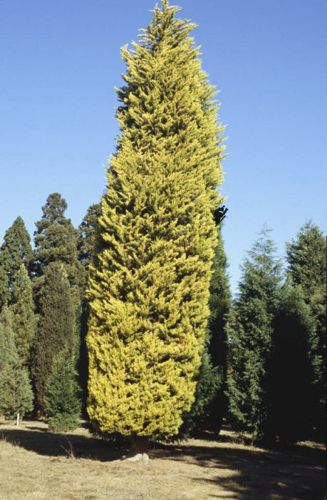 Monterey cypress 'Donard Gold'