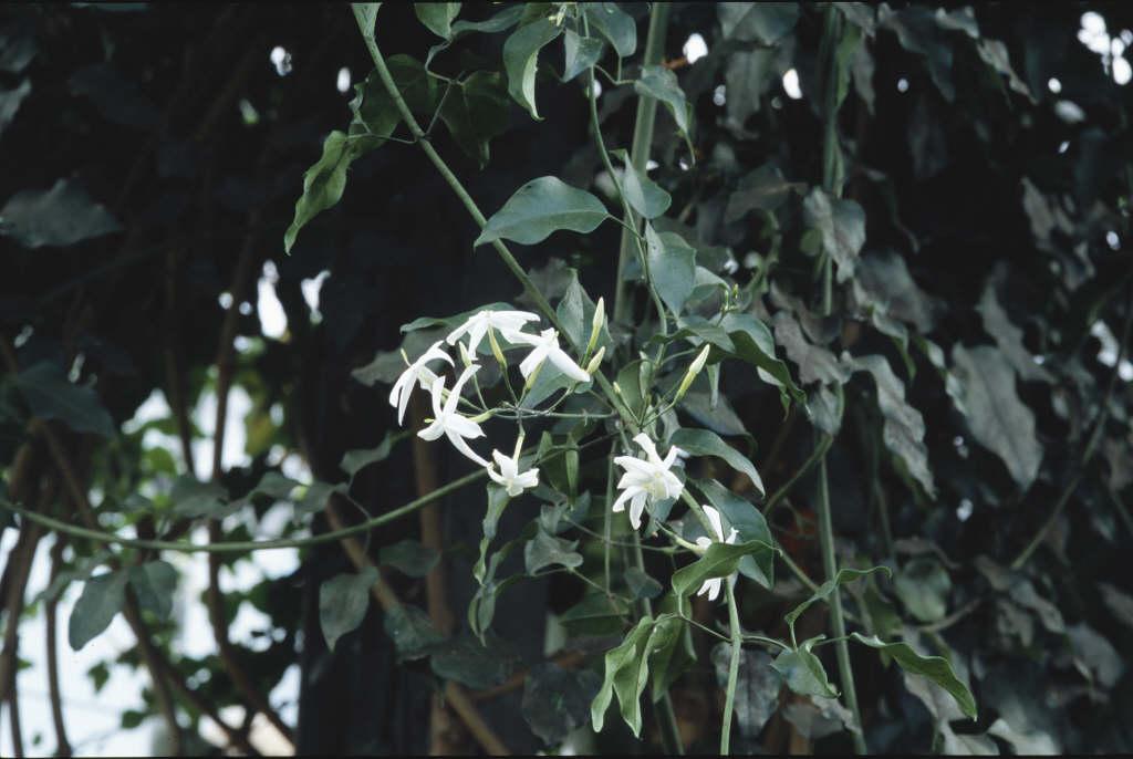 white Azorean jasmine