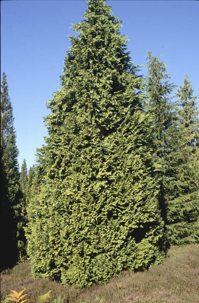 Lawson's cypress 'Stardust'