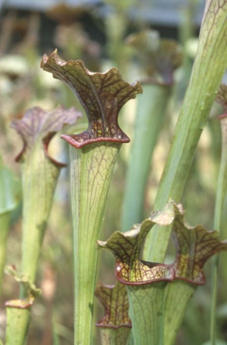 <i>Sarracenia</i> × <i>mitchelliana</i>