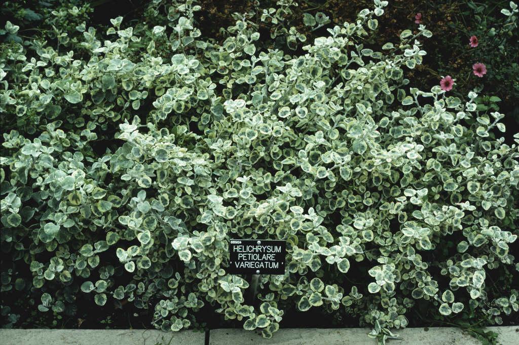 everlasting flower 'Variegatum'