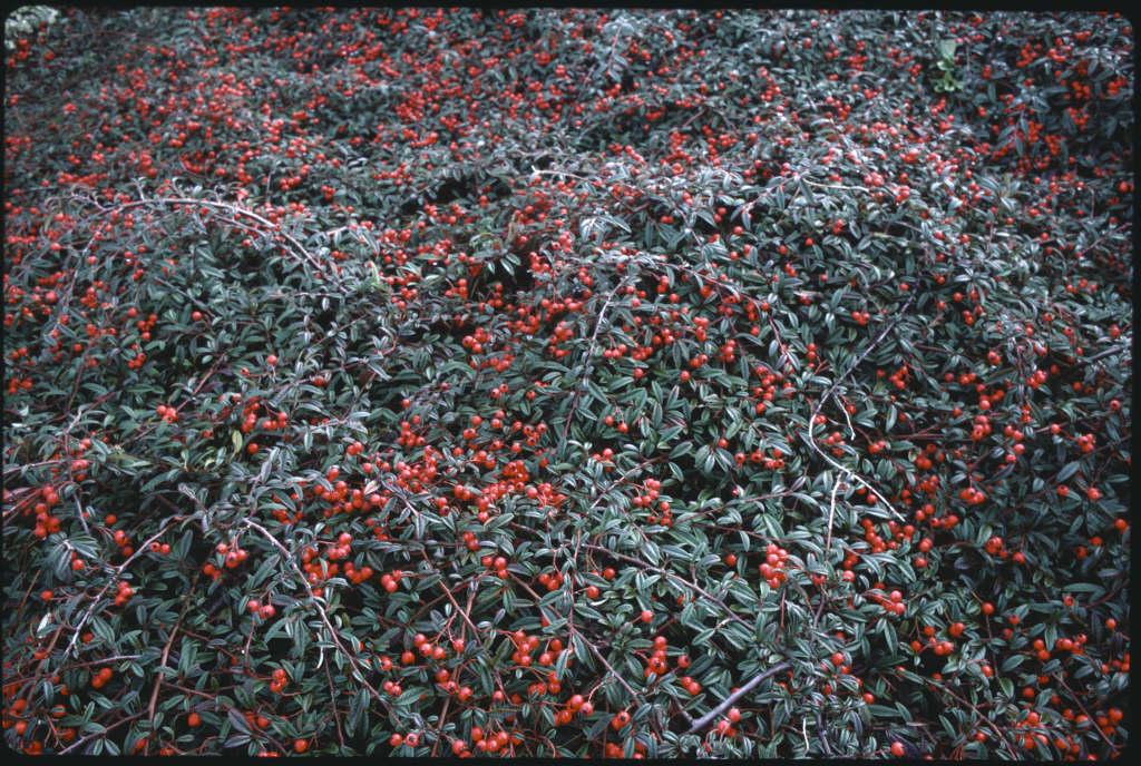 cotoneaster 'Gnom'