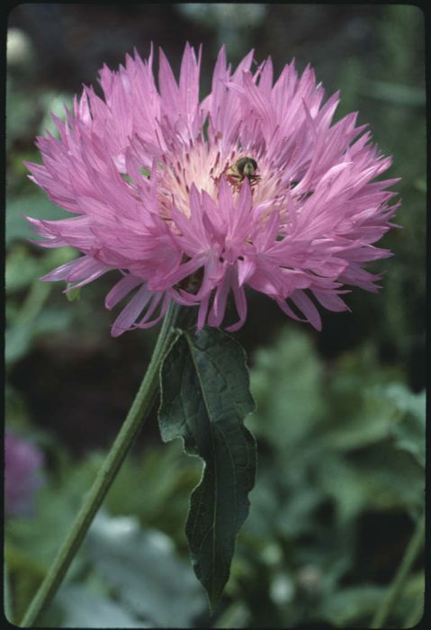 knapweed 'John Coutts'