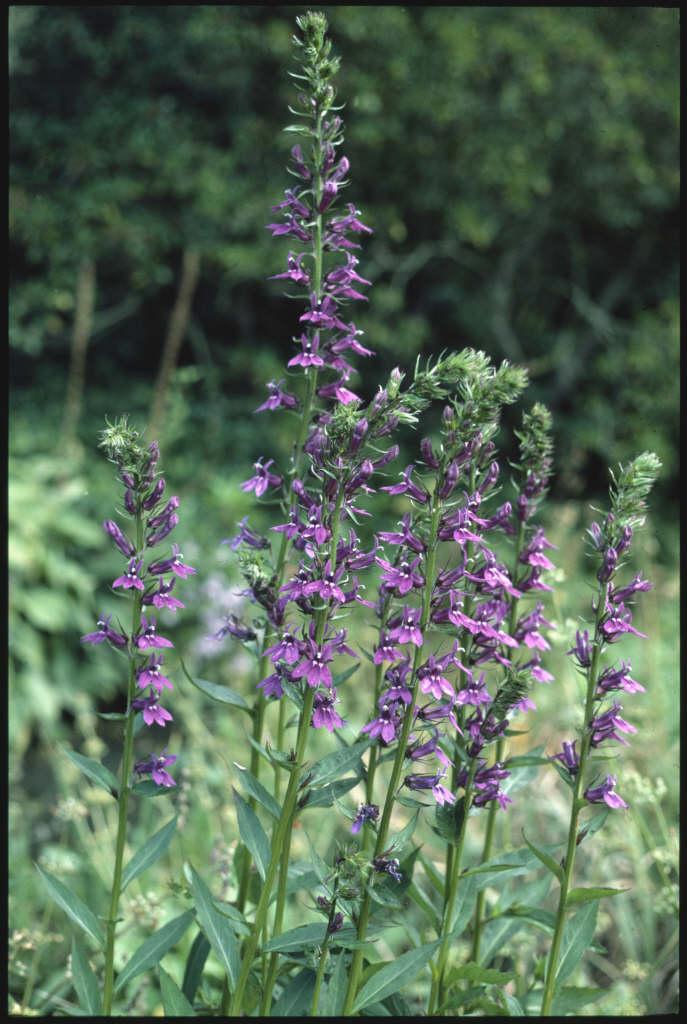 Lobelia X Speciosa Vedrariensis Lobelia Vedrariensisrhs Gardening