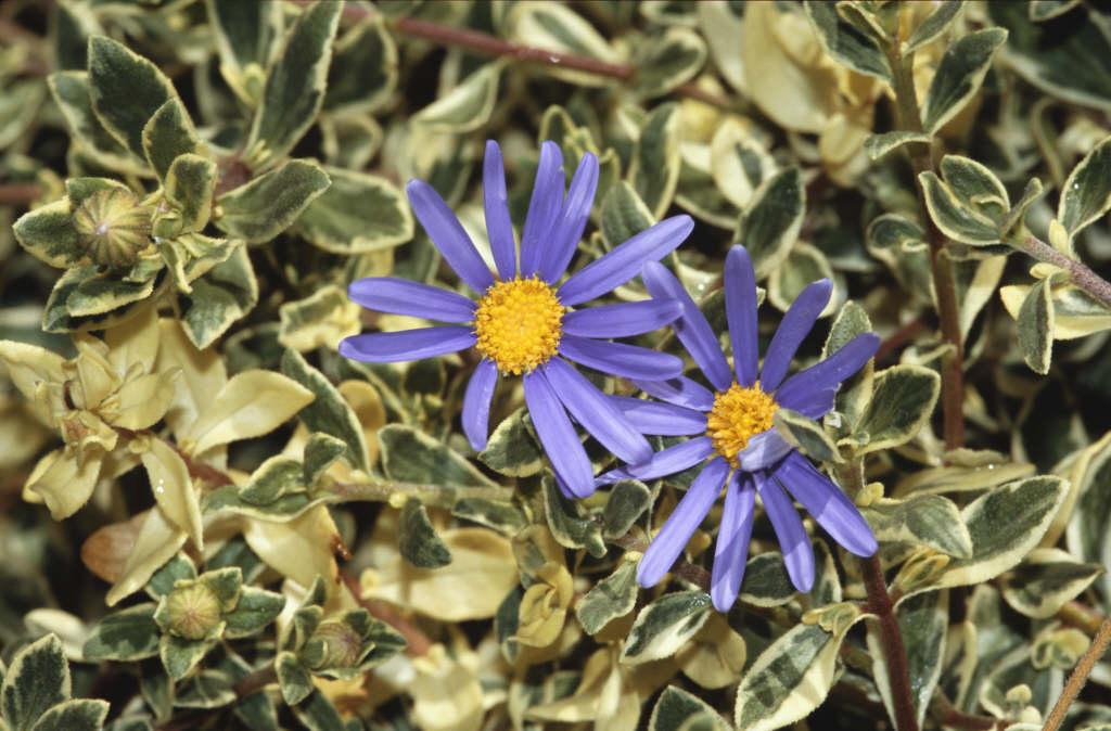 blue daisy 'Santa Anita'