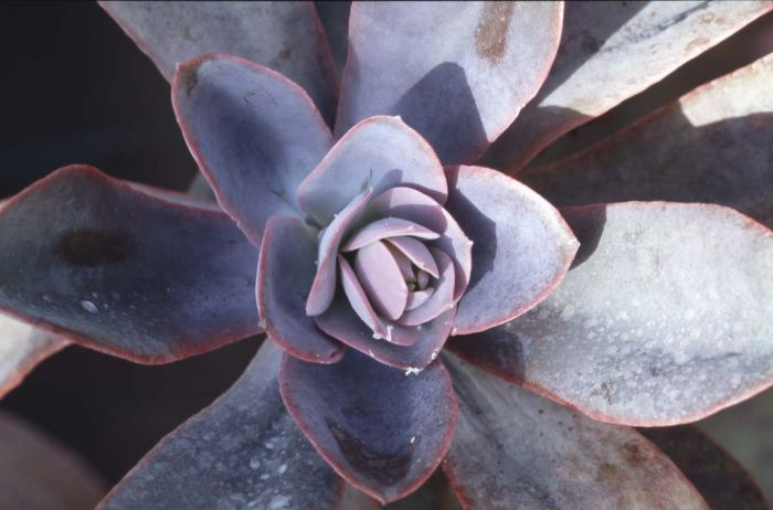 metallic echeveria