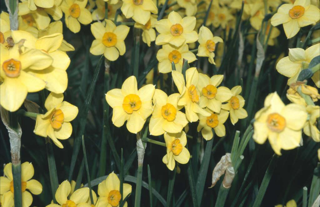daffodil 'Hoopoe'
