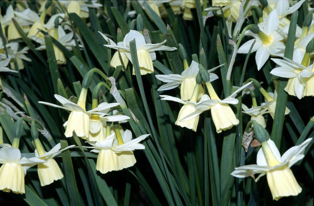 daffodil 'Lemon Drops'