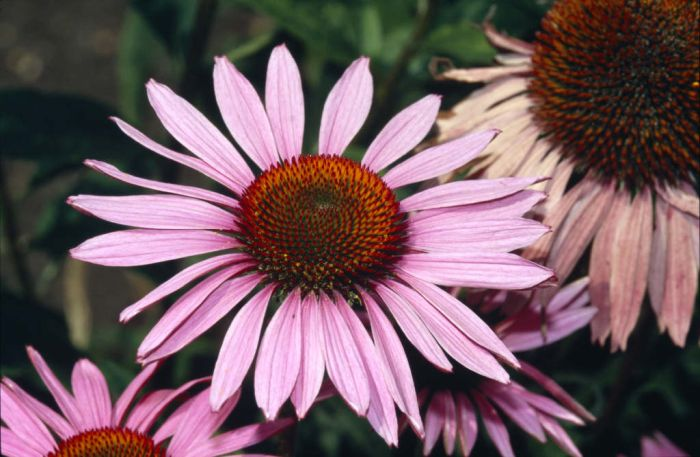 coneflower 'Ruby Giant'