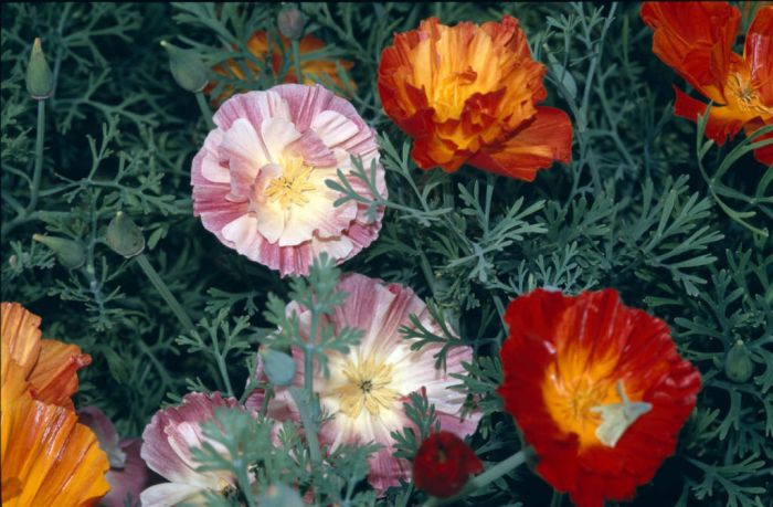 California poppy Thai Silk Series
