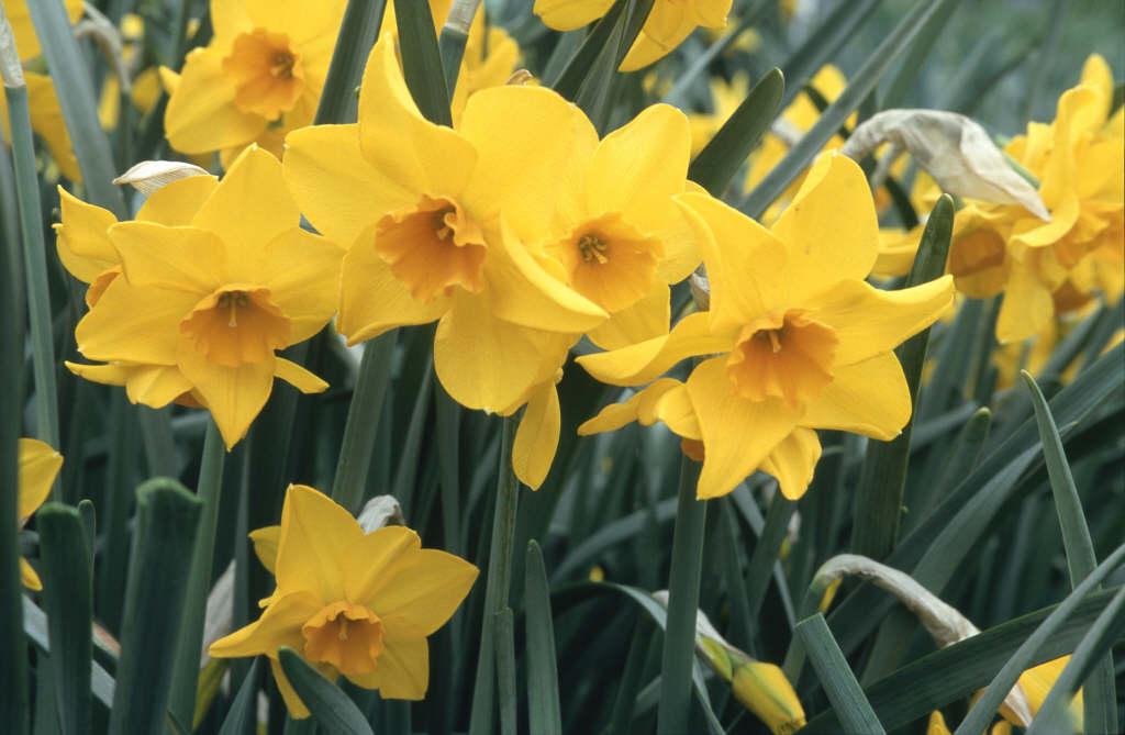 daffodil 'Indian Maid'