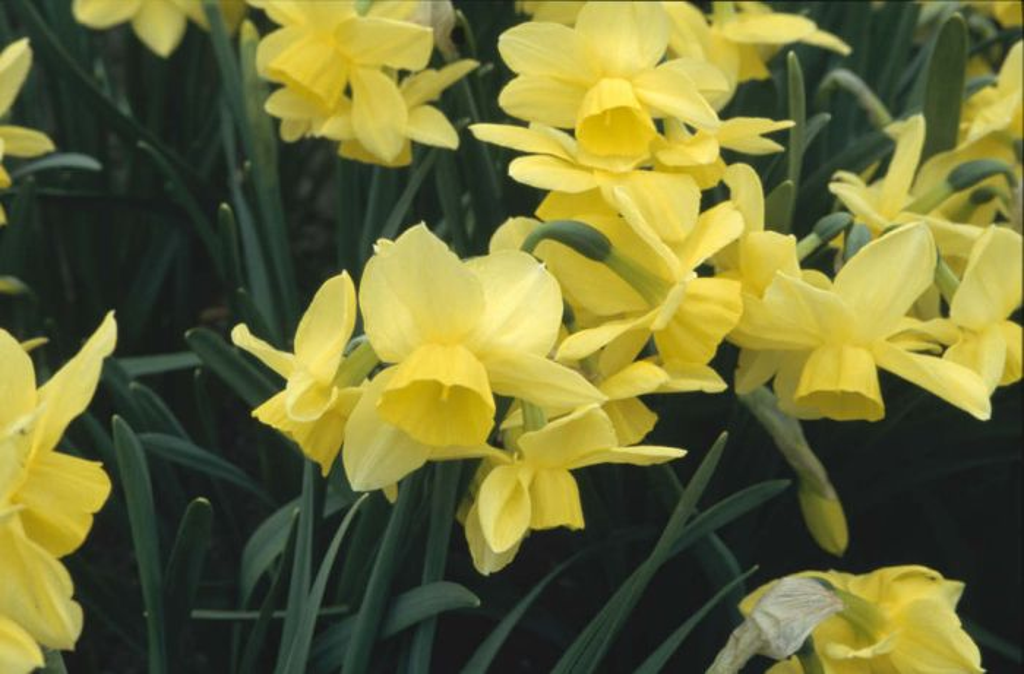 daffodil 'Stint'