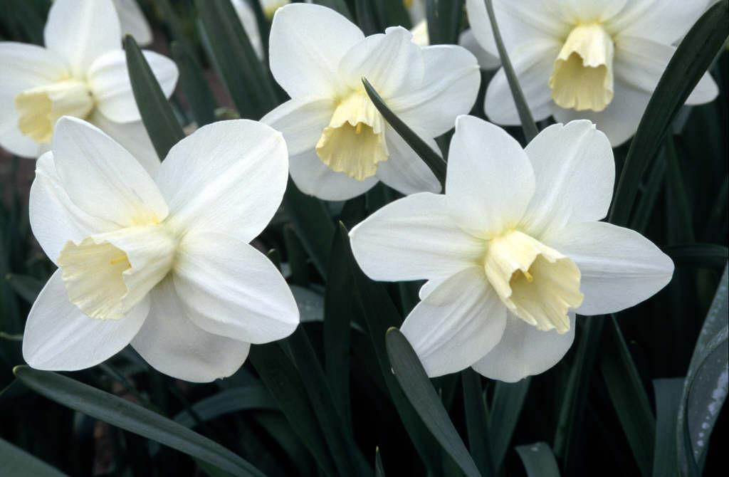 daffodil 'Homestead'