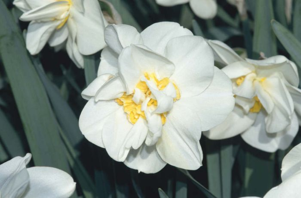daffodil 'Chukar'