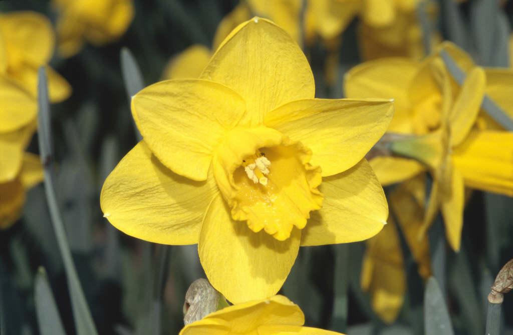 daffodil 'Trebah'
