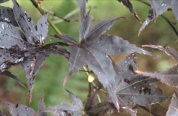 black Japanese maple