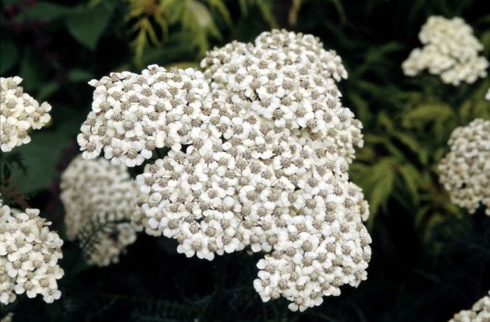 yarrow 'Mondpagode'