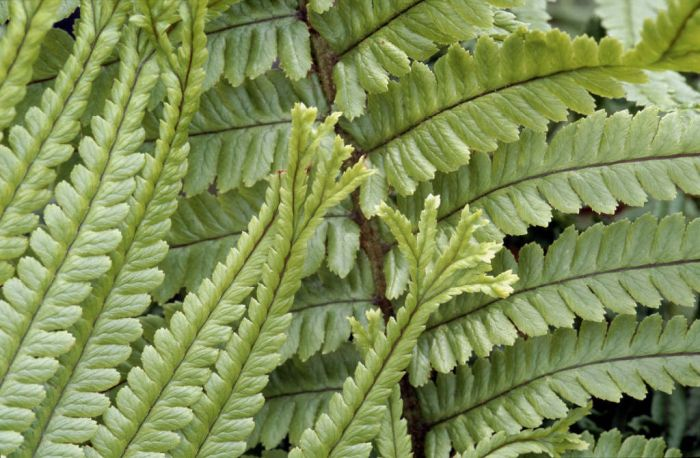 scaly male fern 'Polydactyla Mapplebeck'