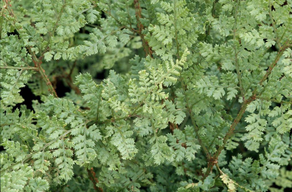 broad buckler fern 'Lepidota Cristata'