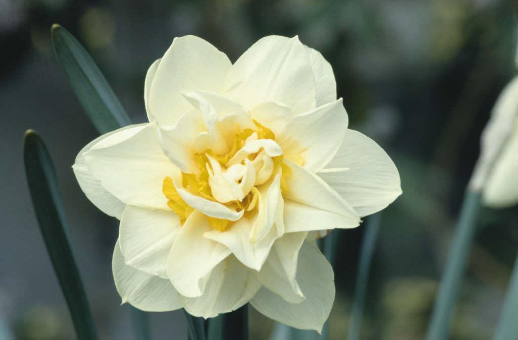 daffodil 'Manly'