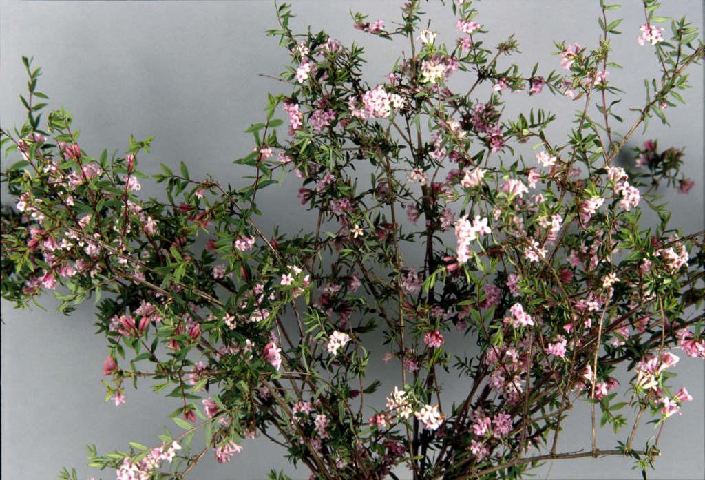 lilac-flowered honeysuckle