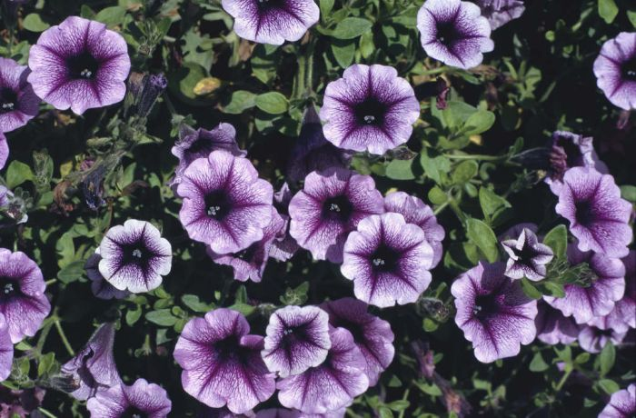 petunia 'Petitunia Happy Dream'