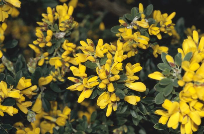 broom 'Porlock'