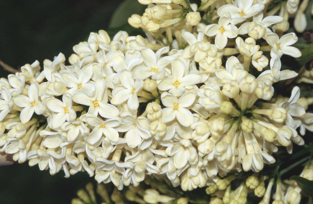lilac 'Primrose'