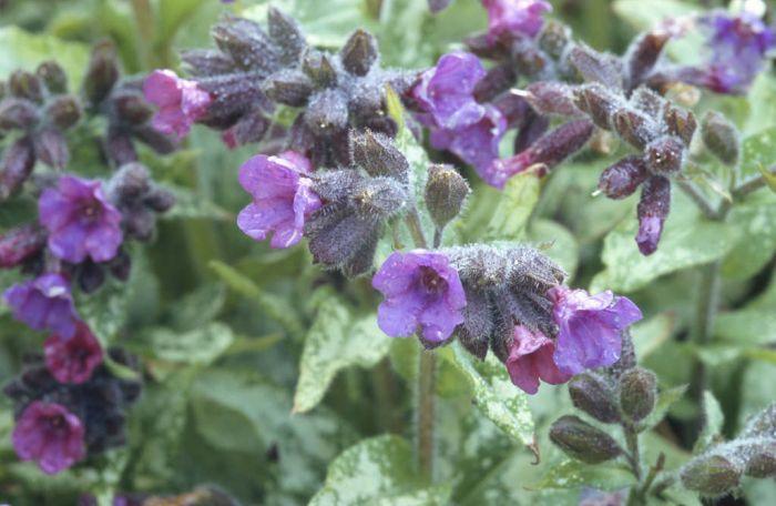 lungwort 'Diana Clare'