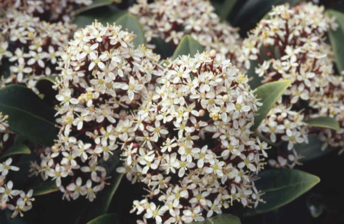 skimmia japonica 39 rubella 39 m skimmia 39 rubella 39 rhs gardening. Black Bedroom Furniture Sets. Home Design Ideas