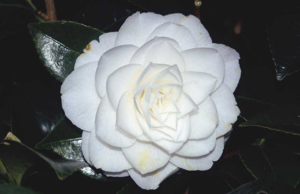 camellia 'Commander Mulroy'