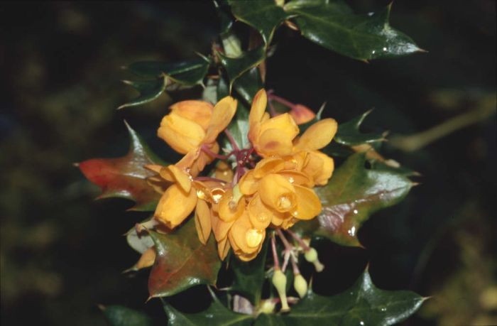 barberry 'Apricot Queen'