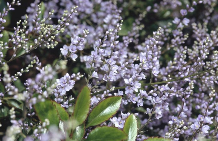 New Zealand lilac