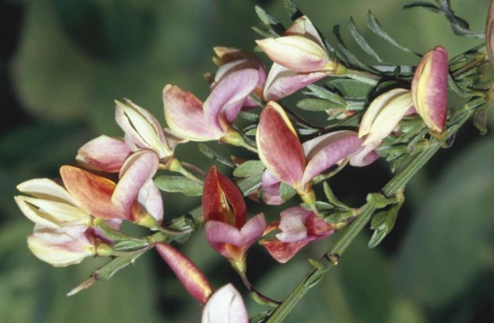 broom 'Zeelandia'