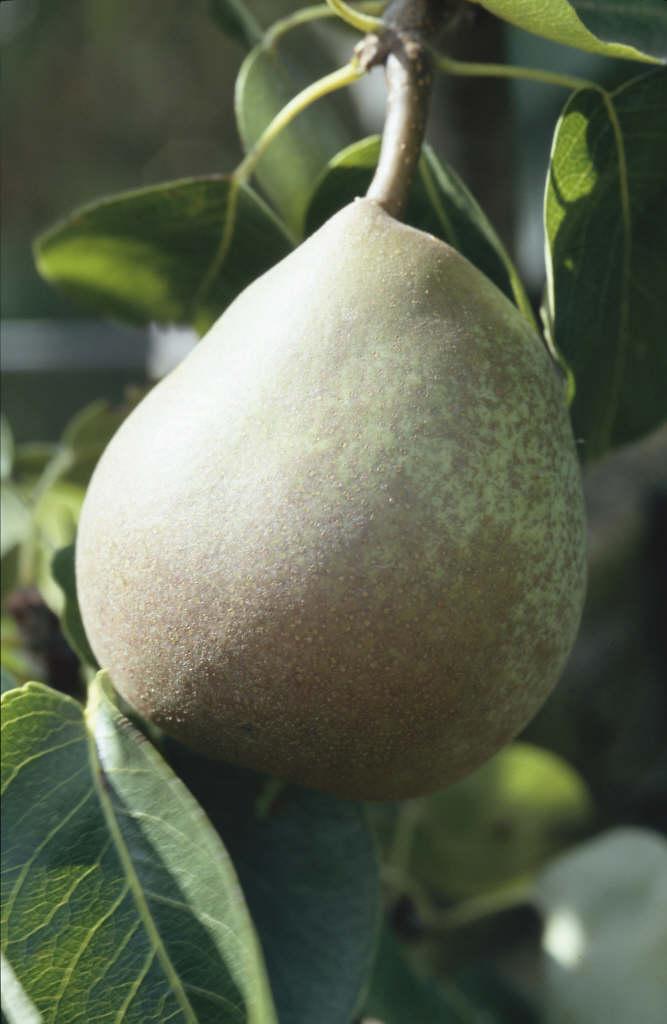 pear 'Beurré Hardy'