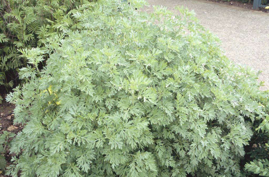 <i>Artemisia absinthium</i>