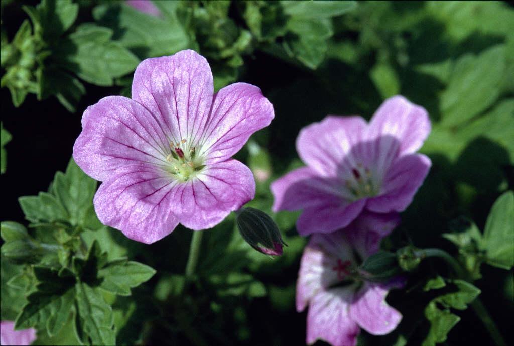 geranium 'Mavis Simpson'
