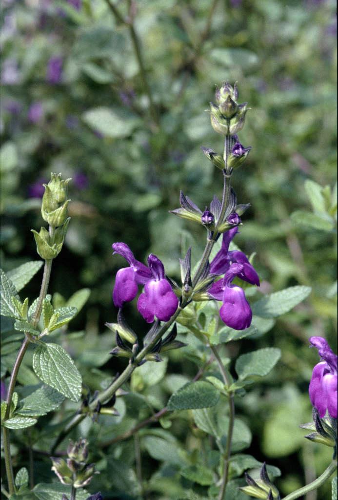 <i>Salvia</i> 'Christine Yeo'