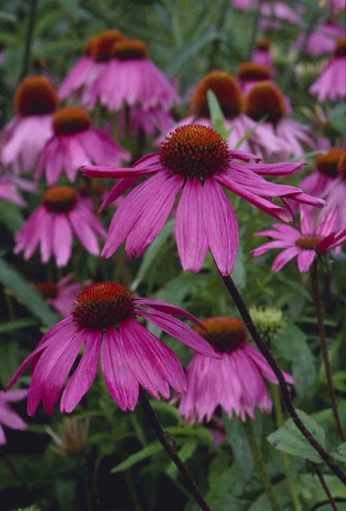 purple coneflower 'Kim's Knee High'