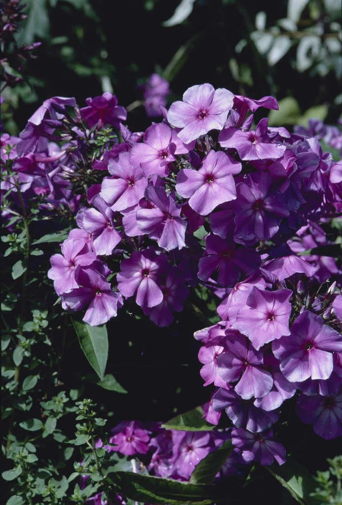 perennial phlox 'Blue Paradise'