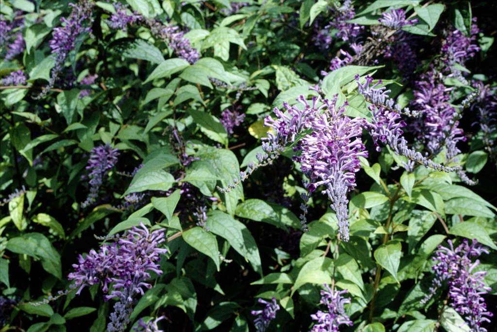Lindley's butterfly bush